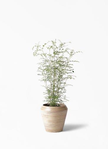 観葉植物 シマトネリコ 6号 アルマ ミドル 付き