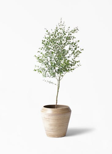 観葉植物 ユーカリ 6号 グニー アルマ ミドル 付き
