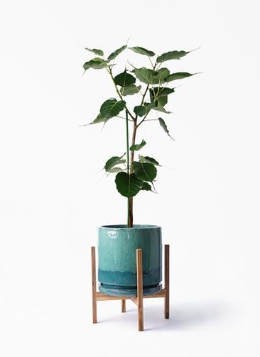 観葉植物 インドボダイジュ 8号 ビトロ エンデガ ターコイズ ウッドポットスタンド付き