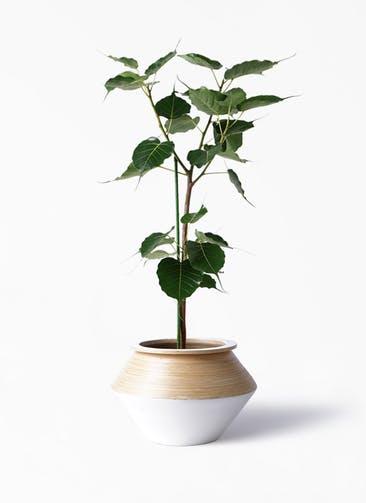 観葉植物 インドボダイジュ 8号 アルマジャー 白 付き