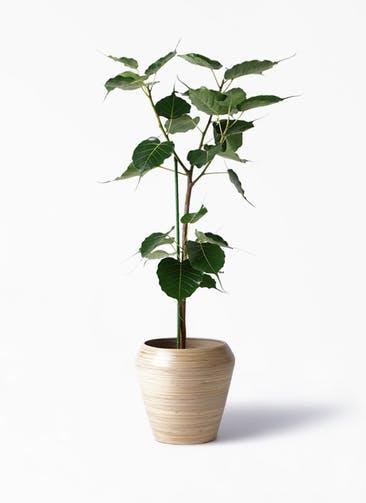観葉植物 インドボダイジュ 8号 アルマ ミドル 付き