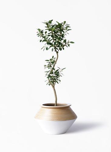 観葉植物 フランスゴムの木 8号 曲り アルマジャー 白 付き