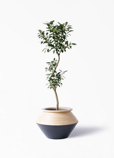 観葉植物 フランスゴムの木 8号 曲り アルマジャー 黒 付き
