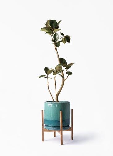 観葉植物 フィカス バーガンディ 8号 曲り ビトロ エンデガ ターコイズ ウッドポットスタンド付き