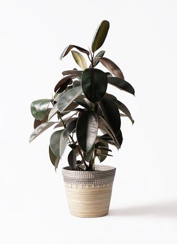 観葉植物 フィカス バーガンディ 8号 ノーマル アルマ コニック 白 付き