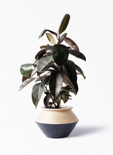 観葉植物 フィカス バーガンディ 8号 ノーマル アルマジャー 黒 付き