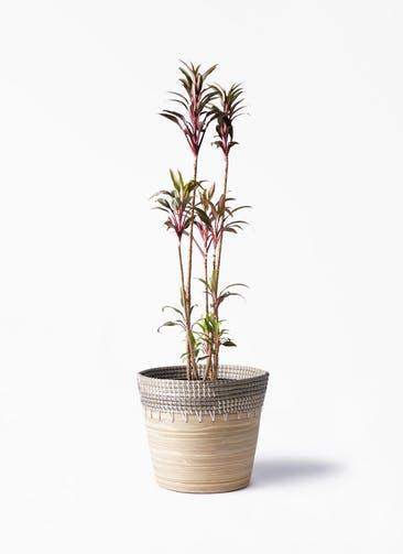 観葉植物 コルディリネ (コルジリネ) ターミナリス 8号 アルマ コニック 白 付き