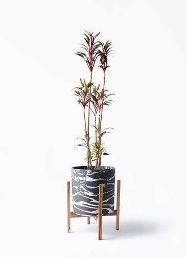 観葉植物 コルディリネ (コルジリネ) ターミナリス 8号 ホルスト シリンダー マーブル ウッドポットスタンド付き