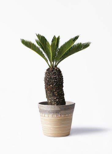 観葉植物 ソテツ 8号 アルマ コニック 白 付き
