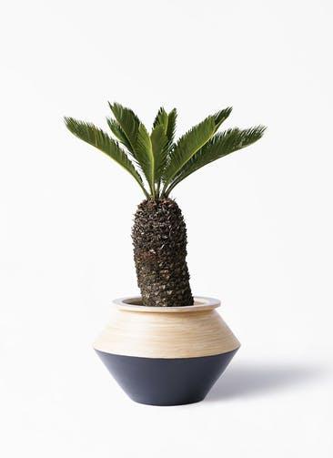 観葉植物 ソテツ 8号 アルマジャー 黒 付き
