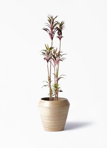 観葉植物 コルディリネ (コルジリネ) ターミナリス 8号 アルマ ミドル 付き