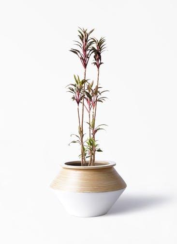 観葉植物 コルディリネ (コルジリネ) ターミナリス 8号 アルマジャー 白 付き