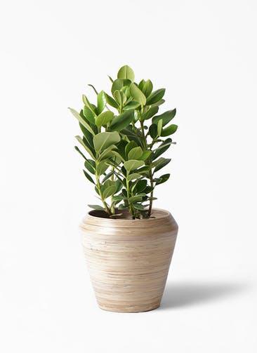 観葉植物 クルシア ロゼア プリンセス 6号 アルマ ミドル 付き