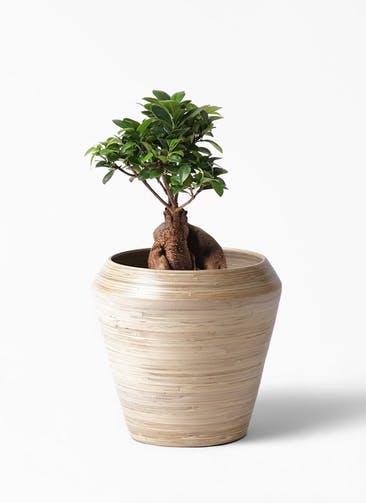 観葉植物 ガジュマル 6号 股仕立て アルマ ミドル 付き