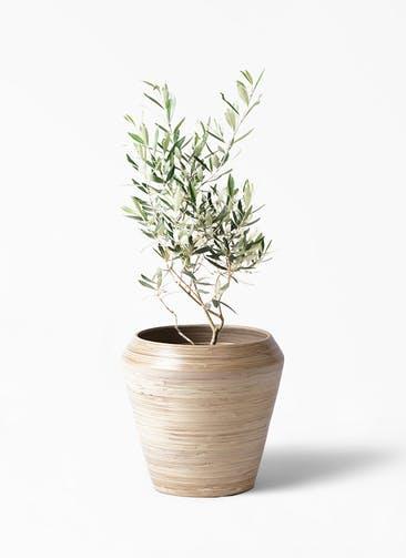 観葉植物 オリーブの木 6号 チプレッシーノ アルマ ミドル 付き