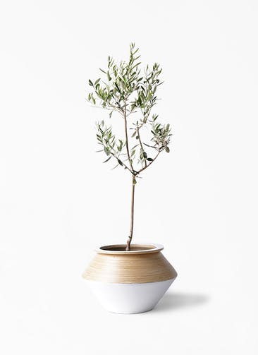 観葉植物 オリーブの木 8号 カラマタ アルマジャー 白 付き
