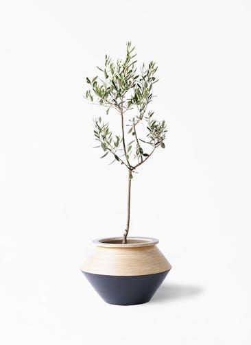 観葉植物 オリーブの木 8号 カラマタ アルマジャー 黒 付き