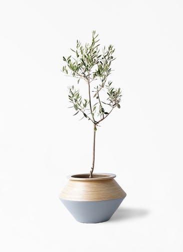観葉植物 オリーブの木 8号 カラマタ アルマジャー グレー 付き