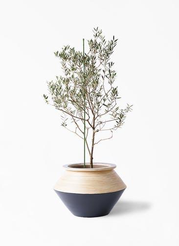 観葉植物 オリーブの木 8号 カリフォルニアクイーン アルマジャー 黒 付き