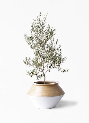 観葉植物 オリーブの木 8号 アルベキーナ アルマジャー 白 付き