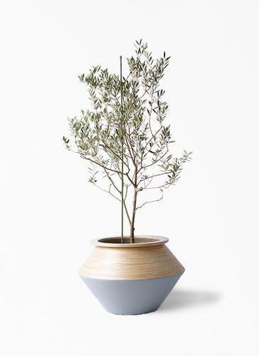 観葉植物 オリーブの木 8号 カリフォルニアクイーン アルマジャー グレー 付き