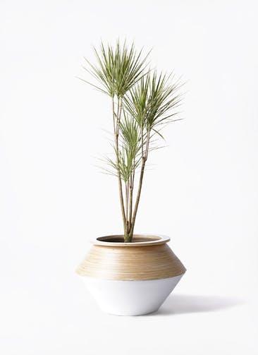 観葉植物 コンシンネ ホワイポリー 8号 ストレート アルマジャー 白 付き