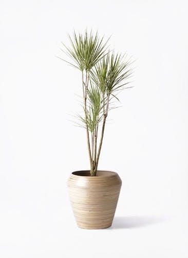 観葉植物 コンシンネ ホワイポリー 8号 ストレート アルマ ミドル 付き