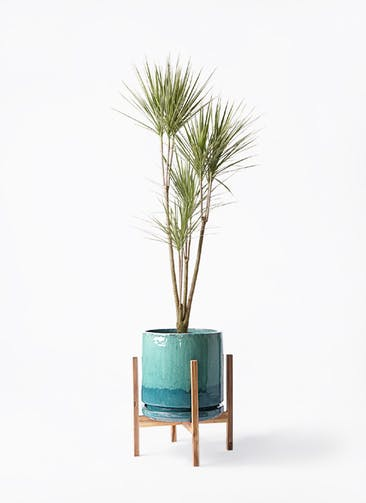 観葉植物 コンシンネ ホワイポリー 8号 ストレート ビトロ エンデガ ターコイズ ウッドポットスタンド付き