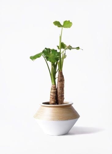観葉植物 クワズイモ 8号 アルマジャー 白 付き