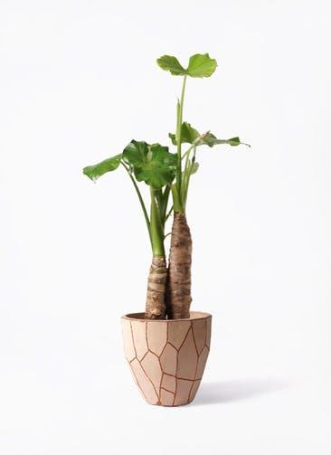 観葉植物 クワズイモ 8号 ウィスク 付き