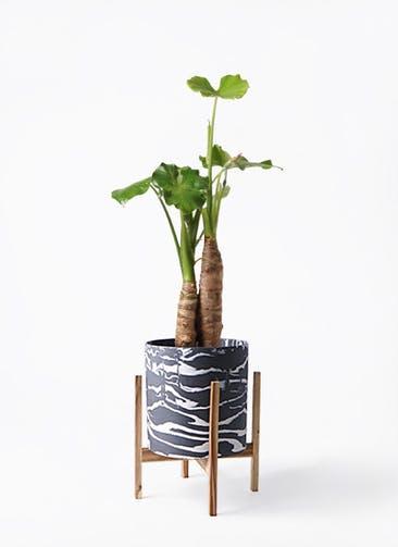 観葉植物 クワズイモ 8号 ホルスト シリンダー マーブル ウッドポットスタンド付き