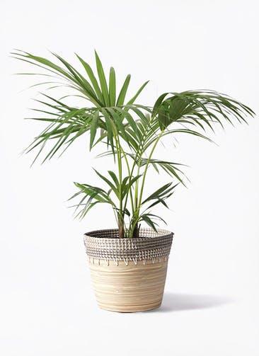 観葉植物 ケンチャヤシ 8号 アルマ コニック 白 付き