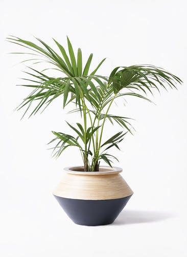 観葉植物 ケンチャヤシ 8号 アルマジャー 黒 付き