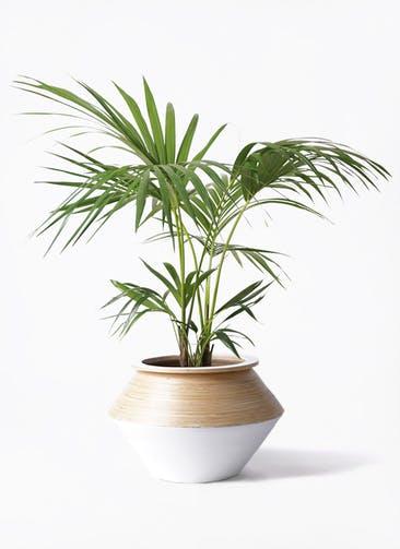 観葉植物 ケンチャヤシ 8号 アルマジャー 白 付き