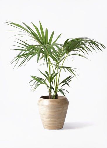 観葉植物 ケンチャヤシ 8号 アルマ ミドル 付き