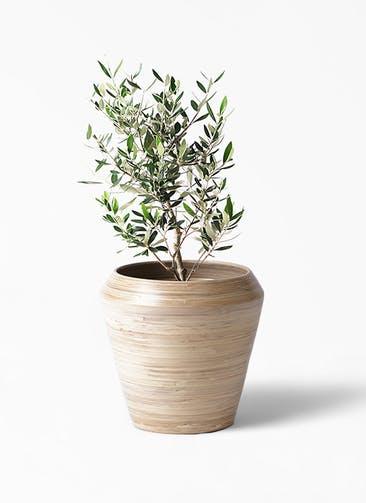 観葉植物 オリーブの木 6号 コロネイキ アルマ ミドル 付き