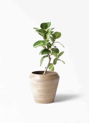 観葉植物 フィカス ベンガレンシス 6号 ストレート アルマ ミドル 付き