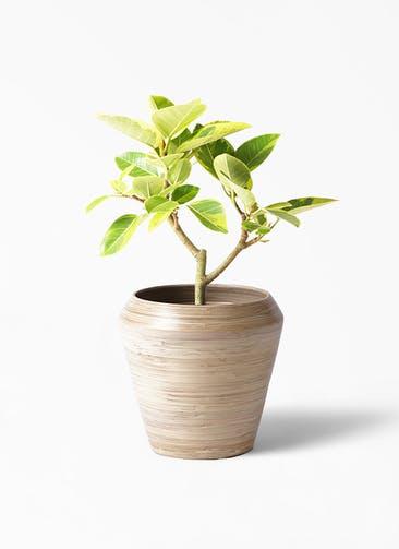 観葉植物 フィカス アルテシーマ 6号 ストレート アルマ ミドル 付き