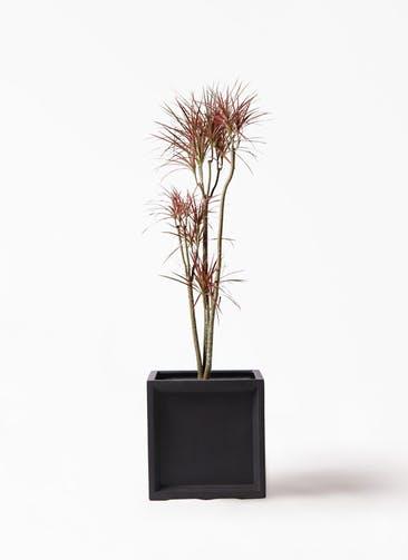 観葉植物 ドラセナ コンシンネ レインボー 8号 ストレート ブリティッシュキューブ 付き