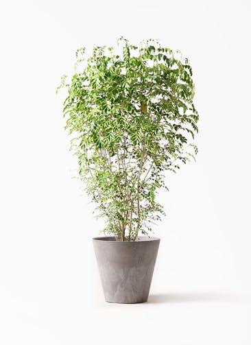 観葉植物 シマトネリコ 10号 アートストーン ラウンド グレー 付き