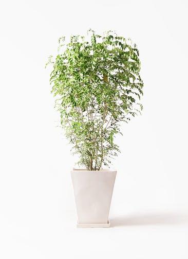 観葉植物 シマトネリコ 10号 スクエアハット 白 付き