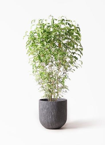 観葉植物 シマトネリコ 10号 カルディナダークグレイ 付き
