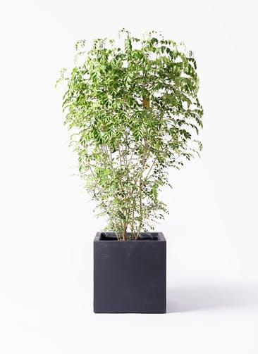 観葉植物 シマトネリコ 10号 ベータ キューブプランター 黒 付き