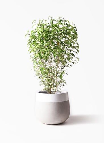 観葉植物 シマトネリコ 10号 ファイバーストーンタウルス ミドル 白 付き