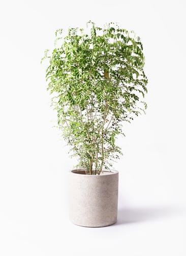 観葉植物 シマトネリコ 10号 サンディ シリンダー 白 付き