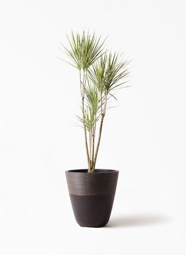観葉植物 コンシンネ ホワイポリー 8号 ストレート ジュピター 黒 付き