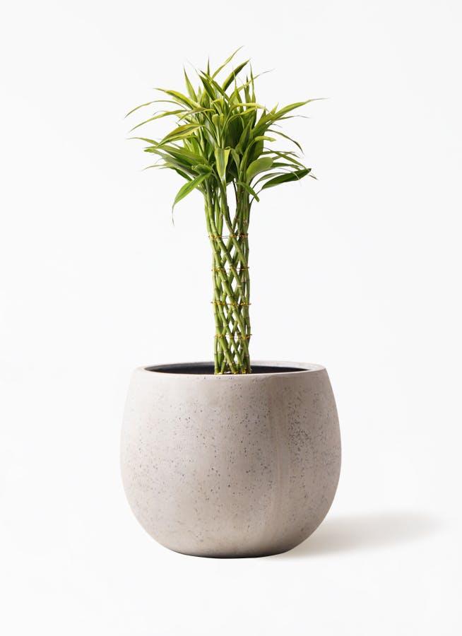 観葉植物 ドラセナ ミリオンバンブー(幸運の竹) 7号 テラニアス ローバルーン アンティークホワイト 付き