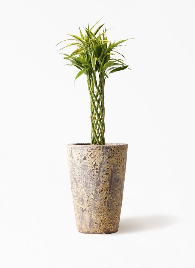 観葉植物 ドラセナ ミリオンバンブー(幸運の竹) 7号 アトランティス クルーシブル 付き