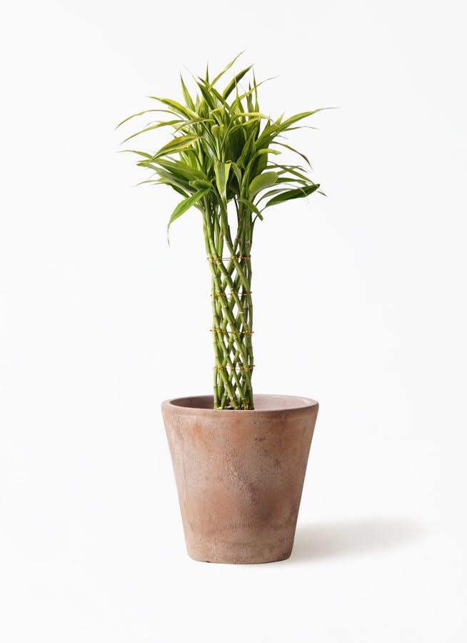 観葉植物 ドラセナ ミリオンバンブー(幸運の竹) 7号 ルーガ アンティコ ソリッド 付き