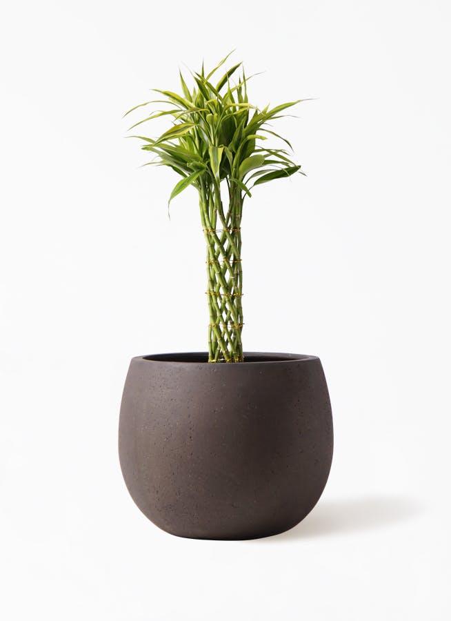観葉植物 ドラセナ ミリオンバンブー(幸運の竹) 7号 テラニアス ローバルーン アンティークブラウン 付き